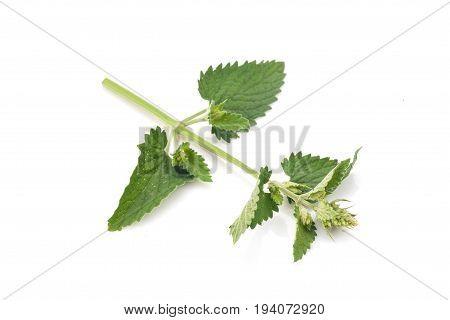 Melissa leaves isolated on white background. Vegetarian food