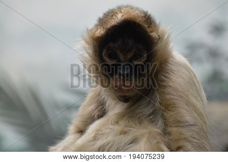 A spider monkey sitting on a rock