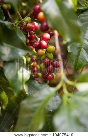 Coffee Seeds On Shrubs, In A Plantation In Northern Thailand