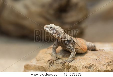 Chuckwalla Lizard On Rock