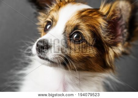 a cute papillon puppy on a black background