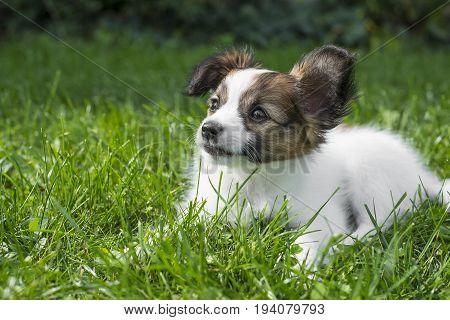 a cute papillon puppy in the garden