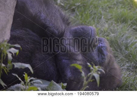 A western lowland gorilla laying on the ground