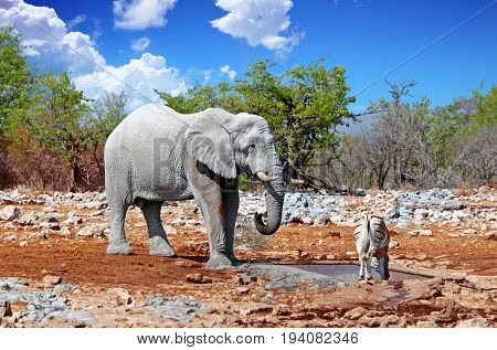 Large Elephant and a seemingly small common zebra at a waterhole in Etosha National Park, Namibia, southern africa