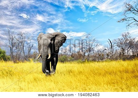 Large Bull Elephant walking towards camera with a cloudscape sky and natural bushveld background in Bumi national park on the shore of lake kariba