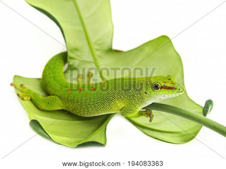 Phelsuma madagascariensis - gecko isolated on white