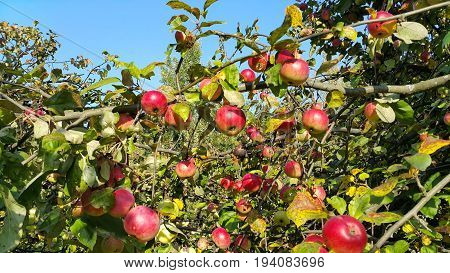 Branches of an apple tree with ripe red fruits in the sunny day