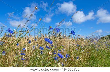 blue cornflowers on a field and blue sky