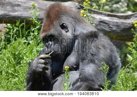 A gorilla foraging for plants during the day