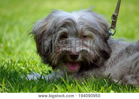 Gray Havanese is leaned in the meadow