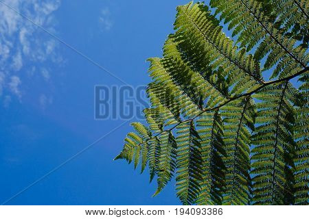 Green fern in blue sky and white cloud in New Zealand