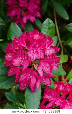one red beutiful rhododendron with many flower on