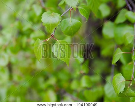 some green leaf from the birch on the early spring