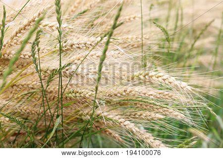 Wheat in the grass. Raking rye summer day