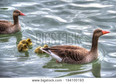 A family of ducks on the water in High Dynamic Range.
