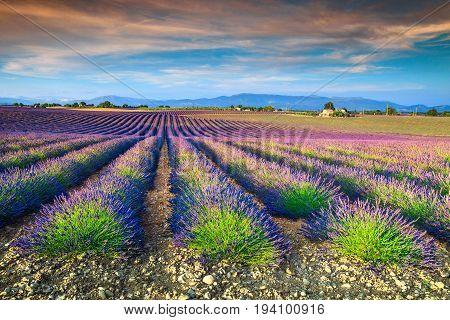 Amazing violet lavender fields near Valensole village Provence region France Europe