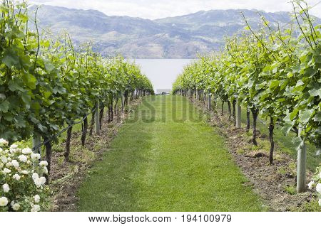 Vineyard in Kelowna BC with rows of grape vines headed down the toward Okanagan Lake and Kelowna BC in the background.