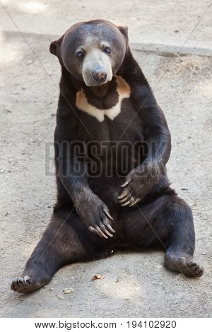 Malayan sun bear (Helarctos malayanus).