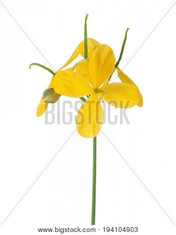 Flowers of Greater celandine (Chelidonium) isolated on white background.