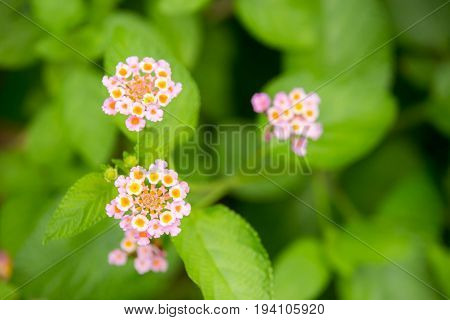 Close up of Lantana flower ( big-sage wild-sage red-sage white-sage or Lantana camara L.) Beautiful small flower and green leaves.