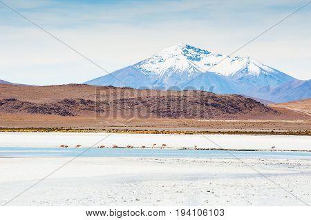 Pink Flamingo On The Lagoon, Plateau Altiplano, Bolivia