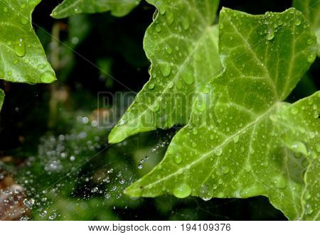 Closeup of bright green ivy leaves with drops of water on them; spiderweb with droplets of water