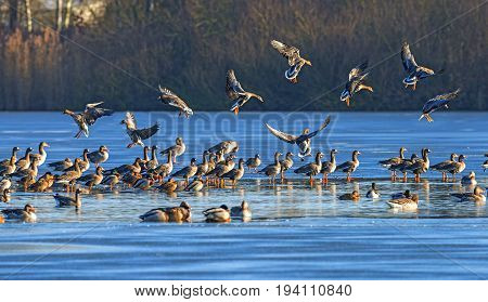 a flock of geese (Anser albifrons and Anser anser) on a pond