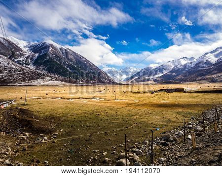 View of yaks grazing in the field near snow mountain in winter at the wayside in Sichuan China