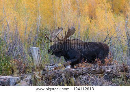 a bull shiras moose during the fall rut