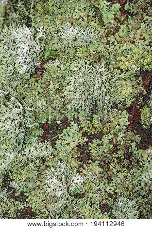 a lichen on a bark - macro photo