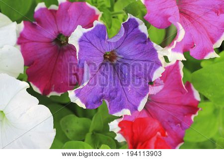 Colorful petunia flowers blooming in the garden