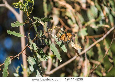 Orange Monarch butterfly on eucalyptus tree leaves in Pismo Beach California