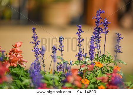 closeup of Blue Salvia (beautiful purple flower) blooming in the garden