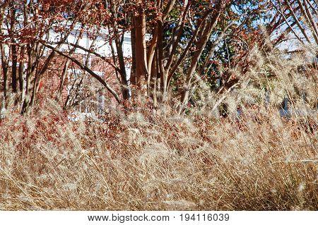 Dry wheat grain grass in autumn at University of Virginia