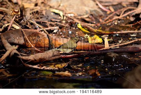 Small bird on the wet soil, phylloscopus canariensis