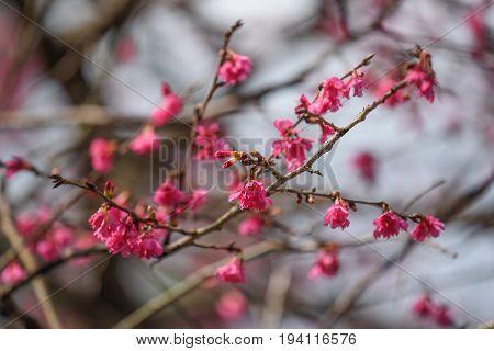 closeup of pink cherry blossom branch (one of beautiful flower in spring season) at formosan aboriginal culture village Yuchi Township Nantou Taiwan