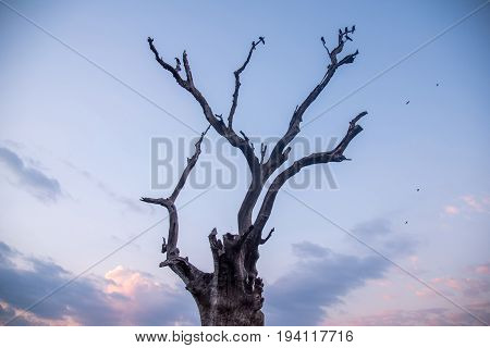 abstract dead tree against sunset sky and clouds at dusk use for background in natural environment and global warming concepts