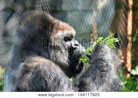 A western lowland gorilla foraging for plants