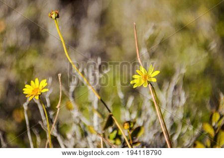 Desert Sunflower Geraea canescens flowers closeup with bokeh