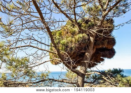 Torrey Pines tree in pacific ocean in San Diego California with cliff