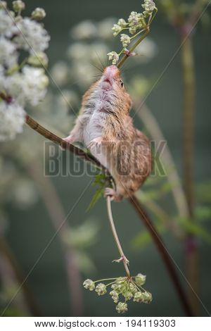 The underside of a harvest mouse balancing delicately on a stem of cow parsley and appearing to be smelling the flowers and showing the mouth