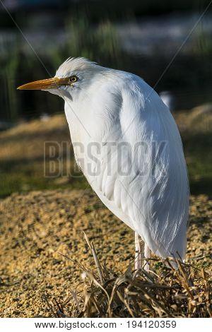 Great Egret - Ardea alba - close up