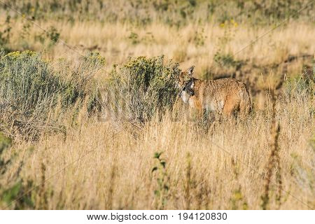 Coyote hiding behind bushes in the grasslands near the Great Salt Lake in Utah on Antelope Island