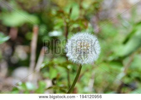 A dandelion flower growing in the grass