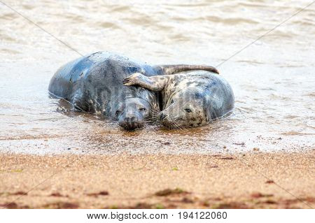 Seal lovers. Breeding pair of grey seals hugging on the sand. Funny animal meme image. This mating pair were engaging in foreplay before having sex.