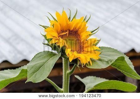 Sunflower. The Sunflower Grows In A Garden.