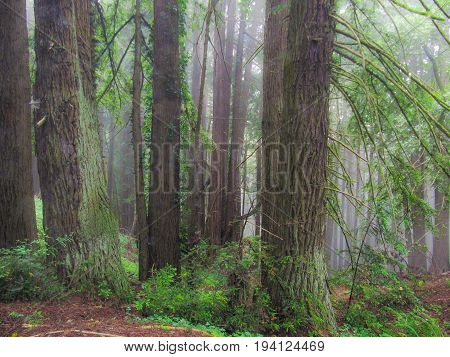 Enchanted misty foggy forest in California on Highway 84 in La Honda with redwood trees