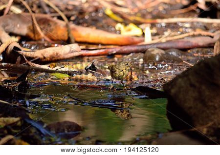 Small bird and its reflection on water puddle, phylloscopus canariensis