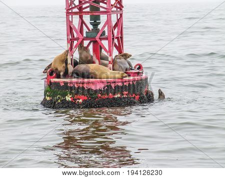 Sea lions resting on a red buoy in Oxnard CA