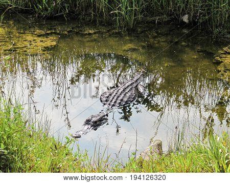 Alligator in pond in Florida Everglades lurking as predator